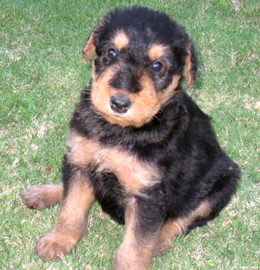Airedale Puppies on Airedale Puppy   5 Weeks Old
